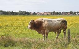 一头公牛 免版税库存图片