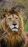 一头公狮子的画象 肯尼亚 坦桑尼亚 马赛马拉 serengeti 免版税图库摄影
