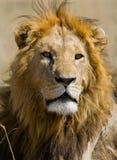 一头公狮子的画象 肯尼亚 坦桑尼亚 马赛马拉 serengeti 免版税库存照片