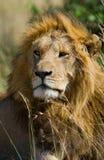 一头公狮子的画象 肯尼亚 坦桑尼亚 马赛马拉 serengeti 库存照片