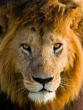 一头公狮子的画象 肯尼亚 坦桑尼亚 马赛马拉 serengeti 图库摄影