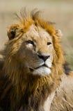 一头公狮子的画象 肯尼亚 坦桑尼亚 马赛马拉 serengeti 免版税库存图片