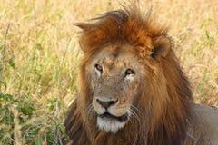 一头公狮子的画象 免版税库存照片