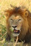 一头公狮子的画象 库存图片