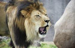 一头公狮子,豹属利奥,响亮地咆哮 免版税库存照片