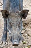 一头公猪的面孔特写镜头在Srinakarin水坝(北碧)的 免版税库存图片