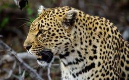 一头公豹子的顶头射击 免版税库存照片