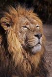 一头公非洲狮子(豹属利奥)的画象。 图库摄影