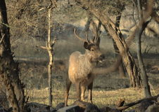 一头公鹿在早晨 免版税图库摄影