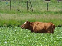 一头凉快的母牛 库存照片