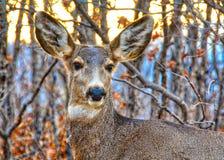 一头更加幼小的鹿的画象 图库摄影