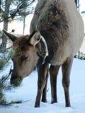 一头加拿大北美驯鹿驯鹿在冬天 免版税库存照片