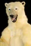 一头北极熊的身体反对黑背景的 库存图片