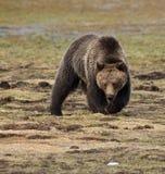 一头北美灰熊在草甸 图库摄影