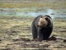 一头北美灰熊在草甸 免版税库存照片