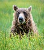 一头北美灰熊的环境画象在草的 库存照片