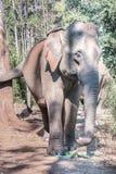 一头印度象 库存图片