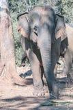 一头印度象 免版税库存图片