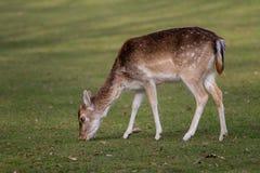 一头吃草的母小鹿 库存图片