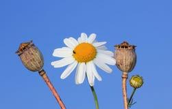 一延命菊和反对蓝天的罂粟种子胶囊 免版税库存照片