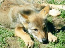 一头哀伤的狼 库存照片