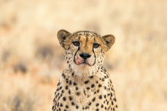一头哀伤的猎豹的画象 库存照片