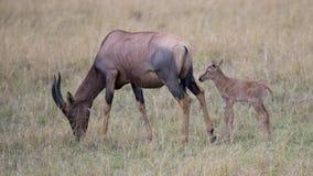 一头唯一遮阳帽小牛的特写镜头sideview在站立在草的母亲后的 免版税库存图片