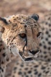 一头四处觅食的猎豹的画象 库存照片