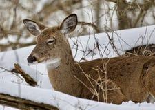 一头困野生鹿的美丽的画象在多雪的森林里 免版税库存照片