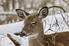 一头困野生鹿的美好的图象在多雪的森林里 免版税库存图片