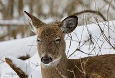 一头困滑稽的野生鹿的美丽的画象在多雪的森林里 免版税库存图片