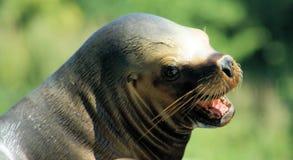 一头巴塔哥尼亚人的海狮的画象 免版税图库摄影