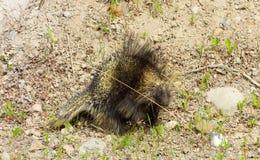一头多刺的豪猪的特写镜头在北不列颠哥伦比亚省 图库摄影