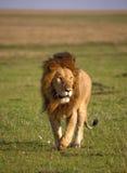 一头大公狮子在肯尼亚的被风吹扫平原走 图库摄影