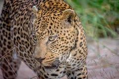 一头大公豹子的旁边外形 免版税库存照片
