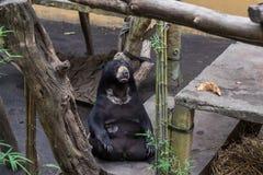 一头大棕熊在热带巴厘岛动物园公园,印度尼西亚 免版税图库摄影
