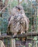 一头大欧亚老鹰猫头鹰的画象 免版税库存照片