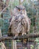 一头大欧亚老鹰猫头鹰的画象 库存照片