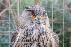 一头大欧亚老鹰猫头鹰的画象 库存图片