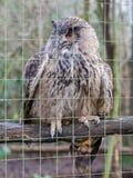 一头大欧亚老鹰猫头鹰的画象 免版税库存图片