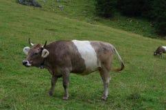 一头大母牛 免版税库存照片