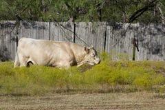 一头大白色公牛 免版税库存照片
