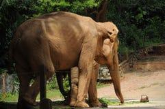 一头大象在马六甲动物园里 免版税图库摄影