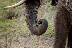 一头大象的树干在克留格尔国家公园,南非 免版税库存图片