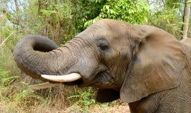 一头大象的头在克留格尔国家公园 免版税库存照片