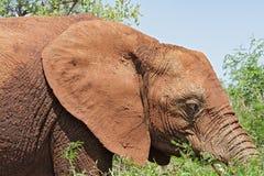 一头大象的画象在克留格尔国家公园,南非 库存照片