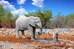 一头大雄象在与一匹斑马的一waterhole旁边站立在etosha 库存图片