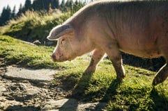 一头大,桃红色猪 免版税图库摄影