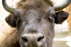 一头大水牛的画象 免版税库存图片