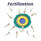 一滴女性蛋受精精液的例证 库存例证